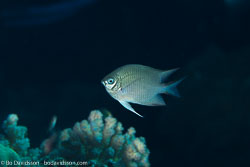 BD-131207-Marsa-Alam-0831-Amblyglyphidodon-indicus.-Allen---Randall.-2002-[Maldives-damselfish].jpg